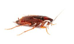 Cockroach Treatment
