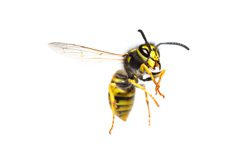 European Wasp Treatment